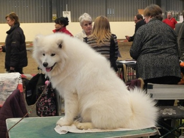 Japanese Spitz at Show